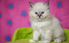 Picture white, look, pose, kitty, baby, muzzle, cute, kitty, sitting, pink background, color-point, ragdoll