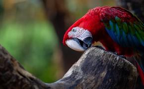 Picture red, the dark background, tree, bird, parrot, Ara