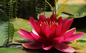 Picture flower, leaves, macro, pond, petals, red, scarlet, Nymphaeum, water Lily