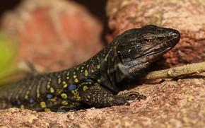 Picture look, lizard, black, blurred background, reptile