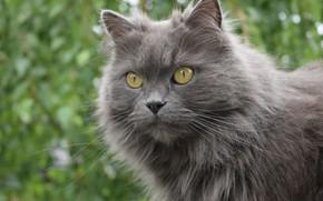 Picture cat, look, grey, focus, nikon, Boke