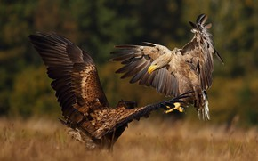 Picture autumn, birds, nature, predators, pair, the eagles, showdown, Lukasz Sokol