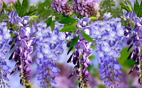Picture graphics, flowers, Wisteria