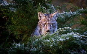 Picture winter, frost, look, face, snow, branches, nature, background, portrait, lynx, needles, wild cat, young, a …