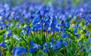 Picture flowers, glade, spring, blue, blue, a lot, Scilla