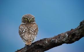 Picture nature, tree, owl, bird, Kalin Botev, задом наперёд
