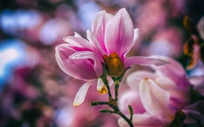 Picture macro, flowers, branch, spring, pink, flowering, bokeh, Magnolia