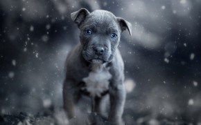 Picture winter, look, face, snow, nature, grey, background, mood, portrait, dog, paws, baby, puppy, blue eyes, …