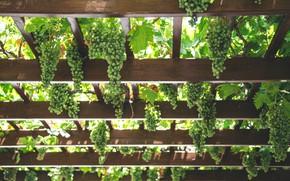 Picture leaves, light, nature, green, Board, harvest, fruit, grapes, vineyard, a lot, Reiki, bokeh, hanging, bunch …