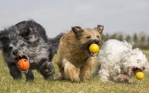 Picture dogs, summer, balls, run