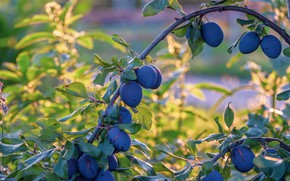 Picture summer, leaves, branches, tree, branch, arc, garden, fruit, fruit, plum, on the tree, blue, drain, …