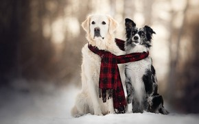 Picture winter, dogs, snow, scarf, pair, two dogs
