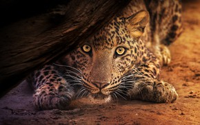 Picture look, face, pose, background, tree, paws, leopard