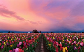 Picture field, flowers, spring, the evening, tulips, colorful, plantation, pink sky, Tulip field