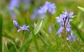 Picture grass, flowers, bokeh, Scilla