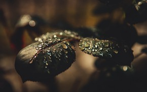 Picture leaves, the dark background, drops