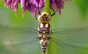 Picture macro, dragonfly, Insect