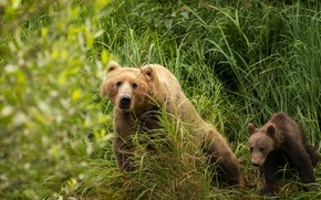 Wallpaper greens, summer, grass, look, face, nature, pose, baby, bear, pair, bear, sitting, two, child, brown, ...