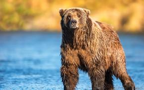 Picture light, shore, bear, bear, walk, pond, brown