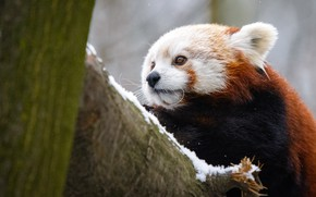 Picture winter, look, snow, close-up, nature, background, tree, portrait, cute, red Panda, face, red Panda
