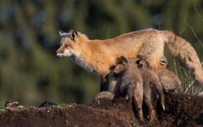 Picture animals, children, background, earth, Fox, wildlife, Fox, bokeh, mammals, cubs, mother, Fox, Fox, feeding, cubs, …