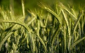Picture field, summer, light, rye, spikelets, bread, green, ears, cereals, a lot, blurred background, rye field