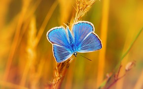 Picture butterfly, insect, ears, Polyommatus Argus, silver-studded blue, plebejus argus, Krzysztof Niewolny