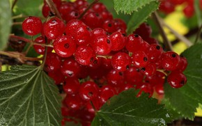 Picture leaves, berries, Bush, red currant
