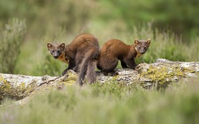Picture grass, look, nature, two, pair, log, Duo, ermine, marten, marten