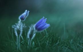 Picture grass, flowers, plant, sleep-grass, anemone, Zan Foar