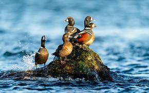 Picture water, birds, stone, duck, Kamenushka