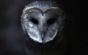 Picture look, darkness, the dark background, owl, bird, portrait, twilight, beauty, the barn owl