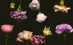 Picture flowers, roses, colorful, black background, black, flowers, background, roses, clove