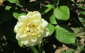 Picture leaves, rose, white rose, Meduzanol ©, Summer 2018