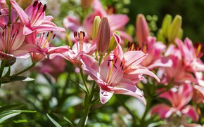 Picture light, flowers, Lily, garden
