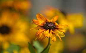 Picture flower, flowers, background, yellow, bokeh, rudbeckia, Echinacea, rasmita
