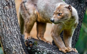 Picture animals, face, nature, tree, claws, trunk, on the tree, fauna, fossa