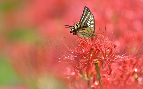 Picture macro, flowers, butterfly, red, bokeh, he lost his parents,, spider Lily