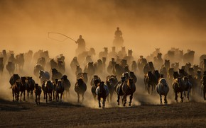 Picture nature, horses, the herd