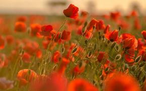 Picture summer, light, Maki, buds, a lot, poppy field