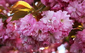 Picture leaves, flowers, branches, spring, Sakura, pink, flowering, a lot, almonds, bokeh