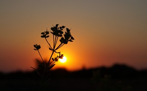 Picture flower, plant, Sunset, silhouette, Dawn, scarlet sunset