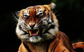 Picture face, tiger, fangs, pastes