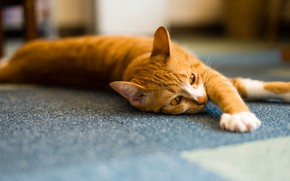 Picture cat, cat, face, light, pose, background, room, paws, red, floor, striped, handsome, blurred, stretching, Palace, …