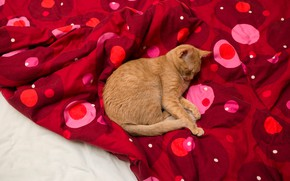 Picture cat, cat, pose, comfort, red, stay, pattern, bed, sleep, polka dot, paws, blanket, red, sleeping, ...
