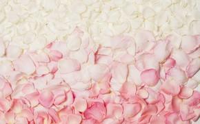 Picture roses, petals, colourful, petals