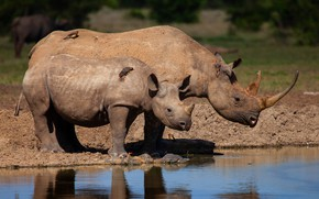 Picture water, birds, nature, river, shore, baby, pair, Africa, Rhino, cub, mom, two, pond, the water, …