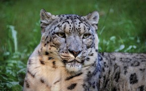 Picture look, face, background, portrait, IRBIS, snow leopard