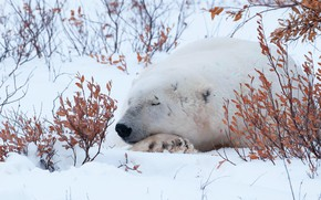 Picture winter, white, leaves, snow, branches, bear, sleeping
