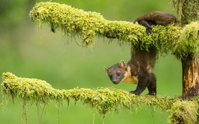 Picture branches, pose, moss, green background, marten